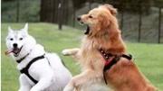 小金毛闖禍,主人要打它,金毛媽媽把小狗護在身下,好感動